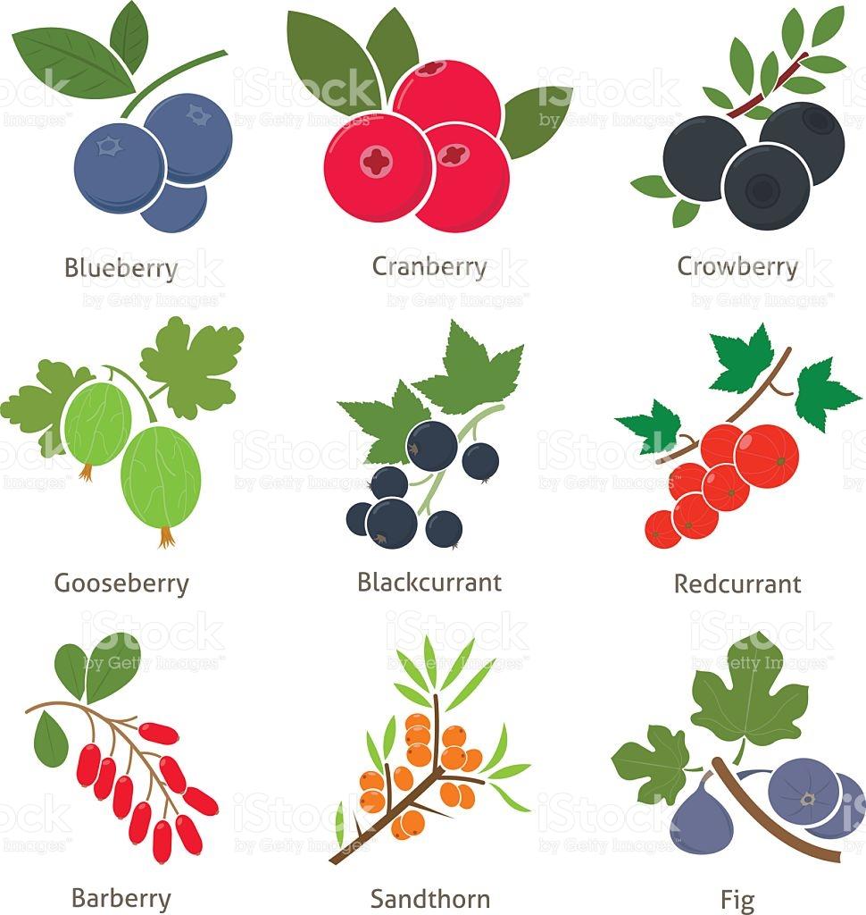 Früchte Und Beeren Vektor Illustration 517309619.