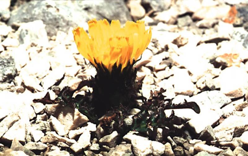 Triglav Hawksbeard (Crepis terglouensis).