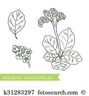 Bergenia Clipart Royalty Free. 6 bergenia clip art vector EPS.