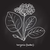 Bergenia Crassifolia Stock Illustrations.