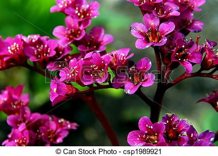 Stock Photography of Bergenia Flowers.