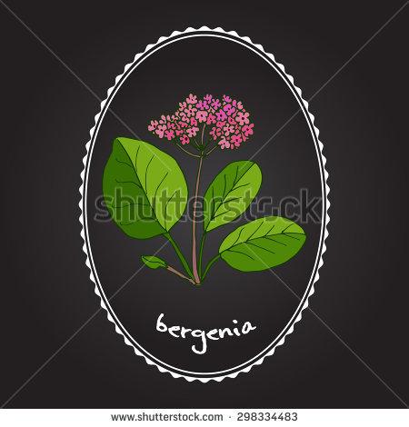 Bergenia Crassifolia Stock Vectors & Vector Clip Art.