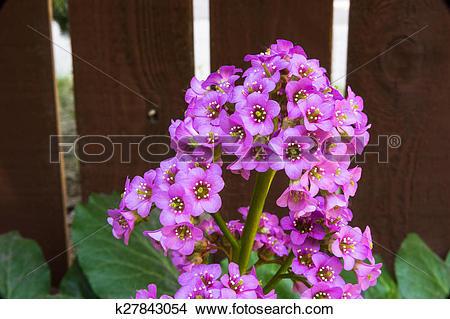 Stock Photo of Flower of the badan plant.
