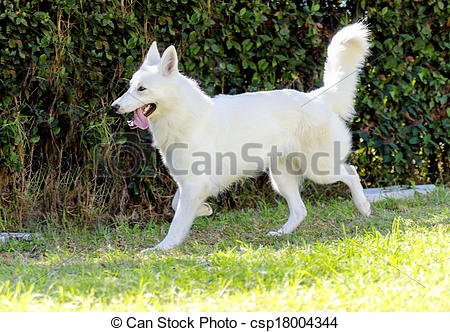 Stock Photo of Berger Blanc Suisse.