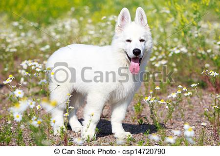 Stock Photographs of Berger Blanc Suisse dog.