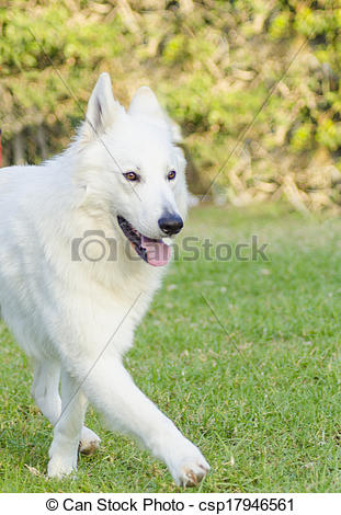 Stock Image of Berger Blanc Suisse.