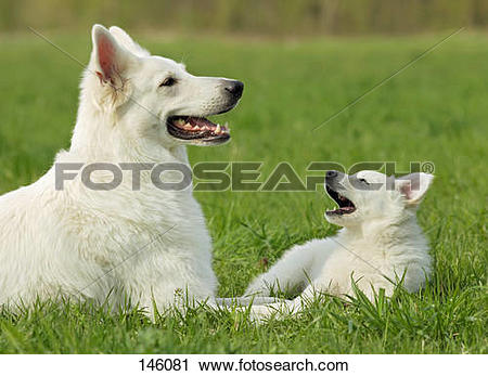 Stock Photography of White Swiss Shepherd Dog and puppy on meadow.
