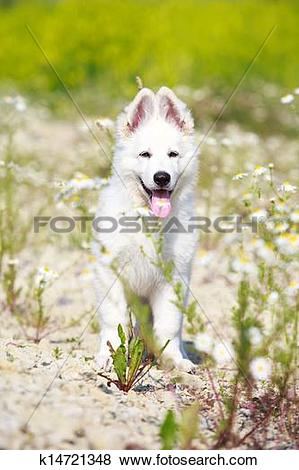 Pictures of Berger Blanc Suisse dog k14721348.