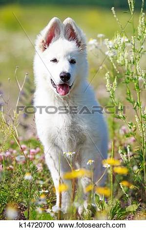 Stock Photography of Berger Blanc Suisse dog k14720700.