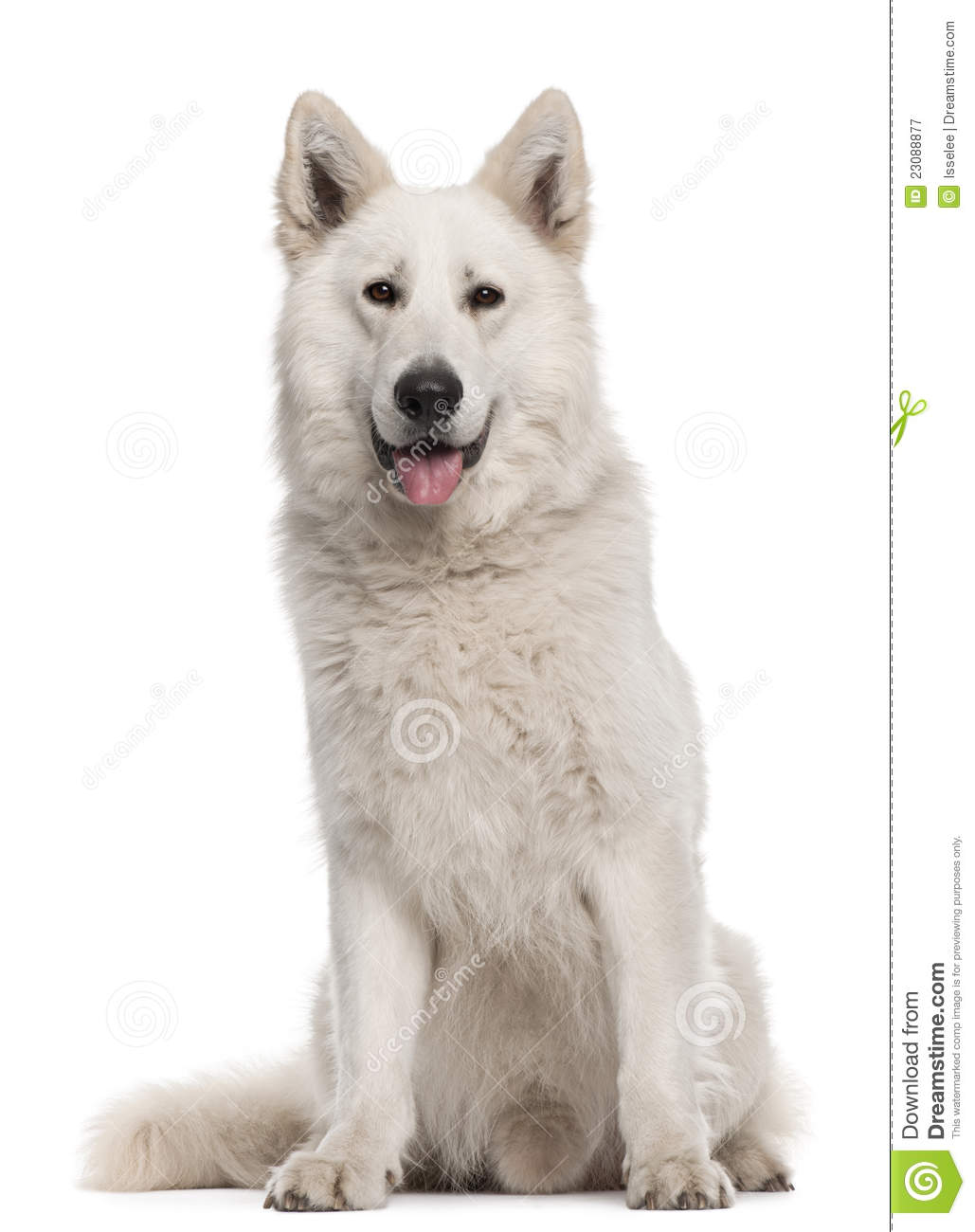 Berger Blanc Suisse, 2 Years Old, Sitting Royalty Free Stock.