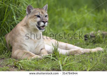Pumas Stock Photos, Royalty.