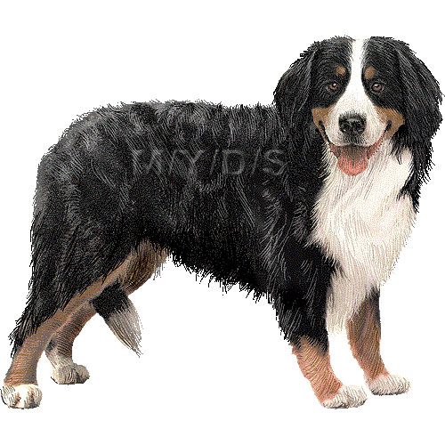 Bernese Mountain Dog, Berner Sennenhund clipart graphics (Free.