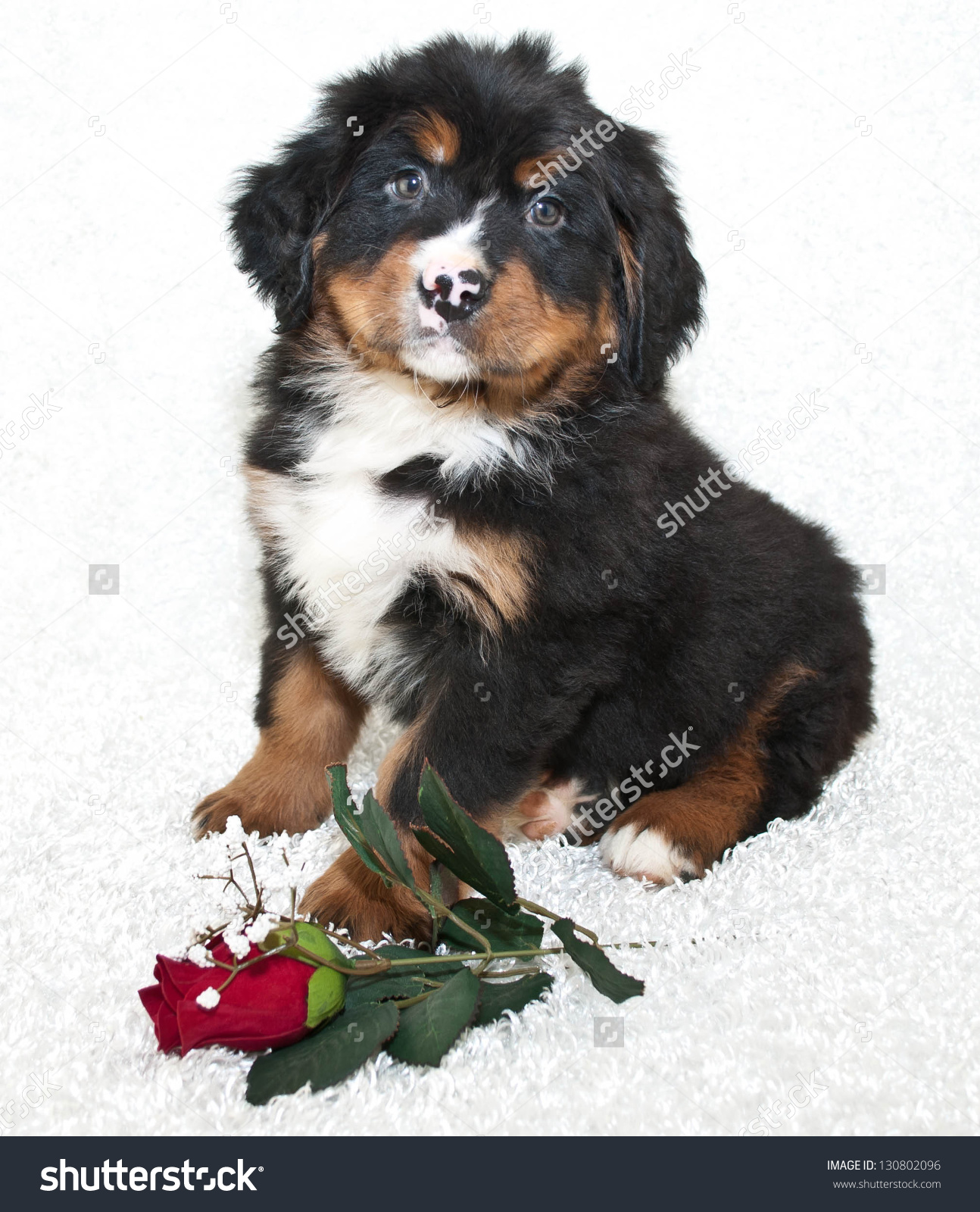 Bernese Mountain Puppy Sitting On White Stock Photo 130802096.