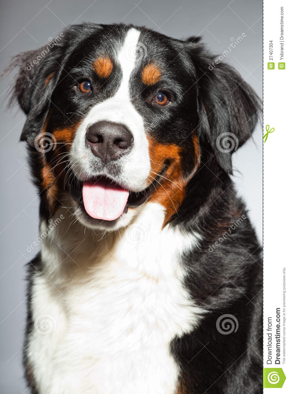 Young Berner Sennen Dog. Stock Images.