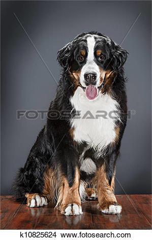 Stock Photo of Berner sennen dog k10825624.