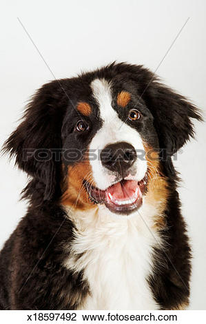 Stock Photo of Bernese Mountain Dog (Berner Sennenhund), studio.