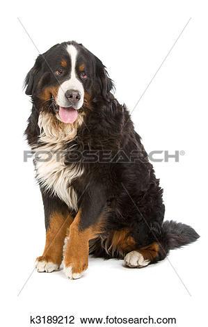 Stock Photo of Bernese mountain dog or Berner Sennen k3189212.