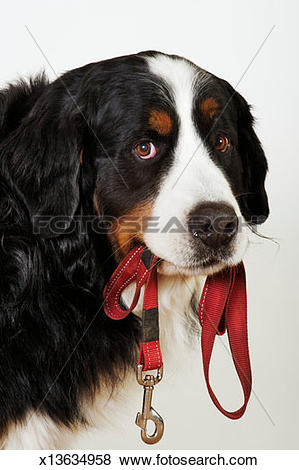 Pictures of Bernese Mountain Dog (Berner Sennenhund) with leash in.