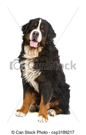 Picture of Bernese mountain dog or Berner Sennen.