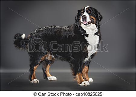 Stock Photo of Berner sennen dog csp10825625.