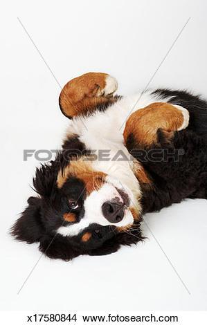 Stock Photo of Bernese Mountain Dog (Berner Sennenhund) lying on.