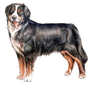 Free bernese mountain dog clip art.