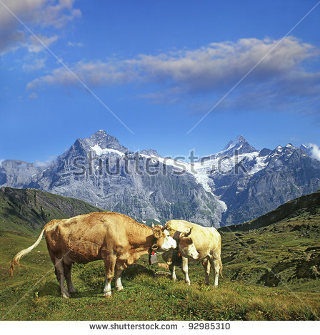 Cows And Mountains Bernese Alps, Bernese Oberland, Switzerland.