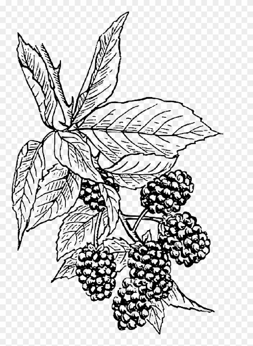 Clip Art Black And White Berries Drawing Bushes.