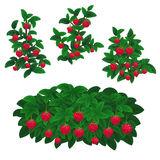 Raspberry Plants Stock Illustrations.