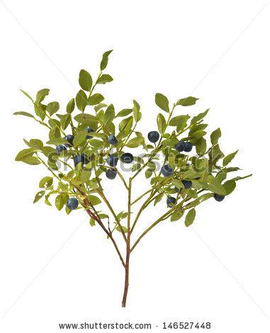 Blueberry Bush Stock Photos, Royalty.