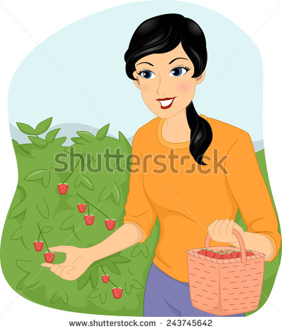 Berry Picker Stock Photos, Royalty.