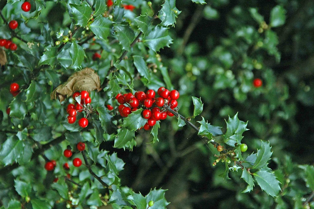 1000+ ideas about Holly Plant on Pinterest.