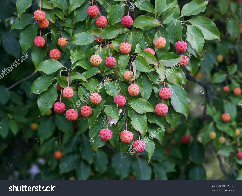 Unique Bush Round Pink Berries Stock Photo 19274422.
