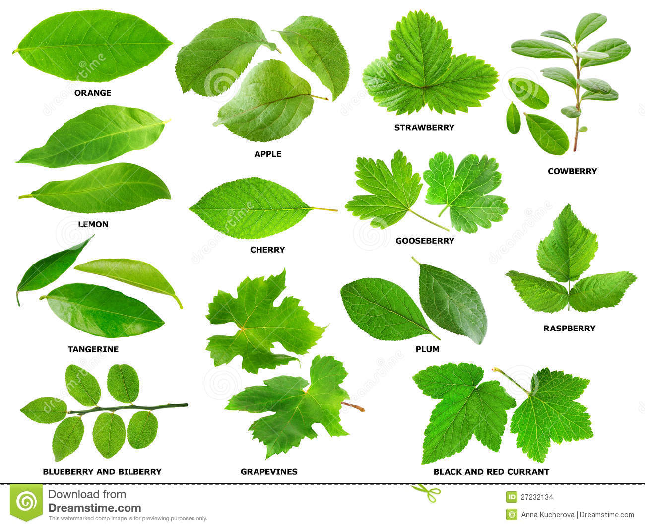 Leaves Of Fruit And Berry Shrubs And Trees Stock Images.