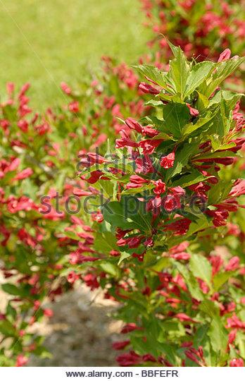 White Berry Bush Stock Photos & White Berry Bush Stock Images.