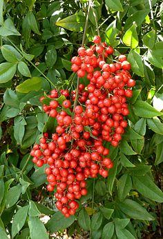 china berry green (fall, summer).