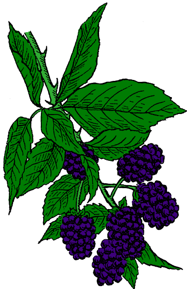 Blackberry bush clipart.