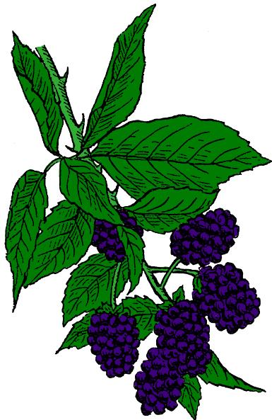 Blackberry bush clipart.
