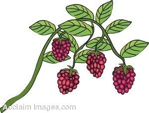 Clip Art of Raspberries Growing on the Vine.