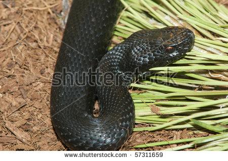 European Adder Viper (Vipera Berus) Stock Photo 57311659.