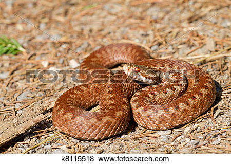 Pictures of Vipera berus k8115518.