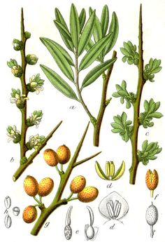 Der Beifuss ist eine der ältesten Ritualpflanzen in ganz Europa.