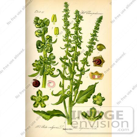 Picture of Fodder Beet (Beta vulgaris).