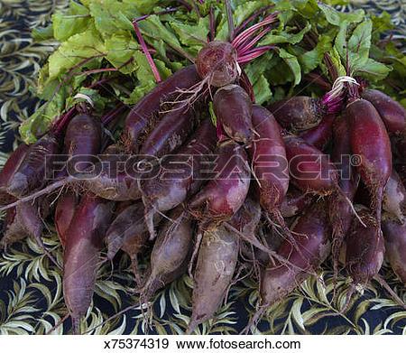 Stock Photograph of Cylindra,Formanova Beet,Beta vulgaris.