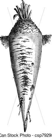 Vector Clip Art of Sugar beet or Beta vulgaris vintage engraving.