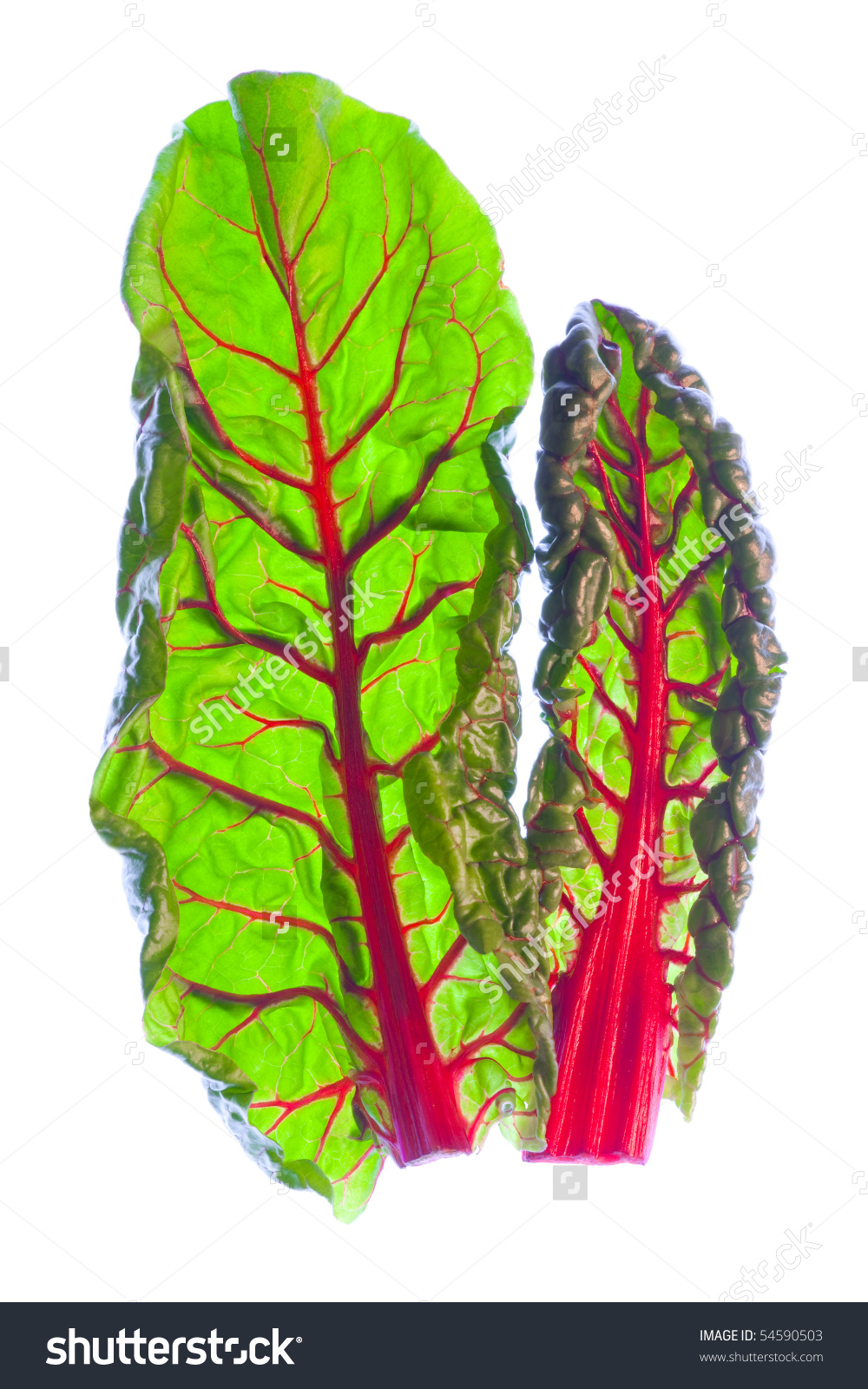 Two Young, Fresh Red Swiss Chard Leaves (Beta Vulgaris) Stock.