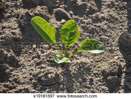Picture of Sugar beet plant (Beta vulgaris subsp. vulgaris.