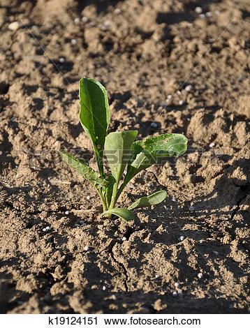 Stock Photography of Sugar beet plant (Beta vulgaris subsp.