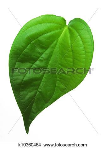Stock Photo of betel leaf k10360464.