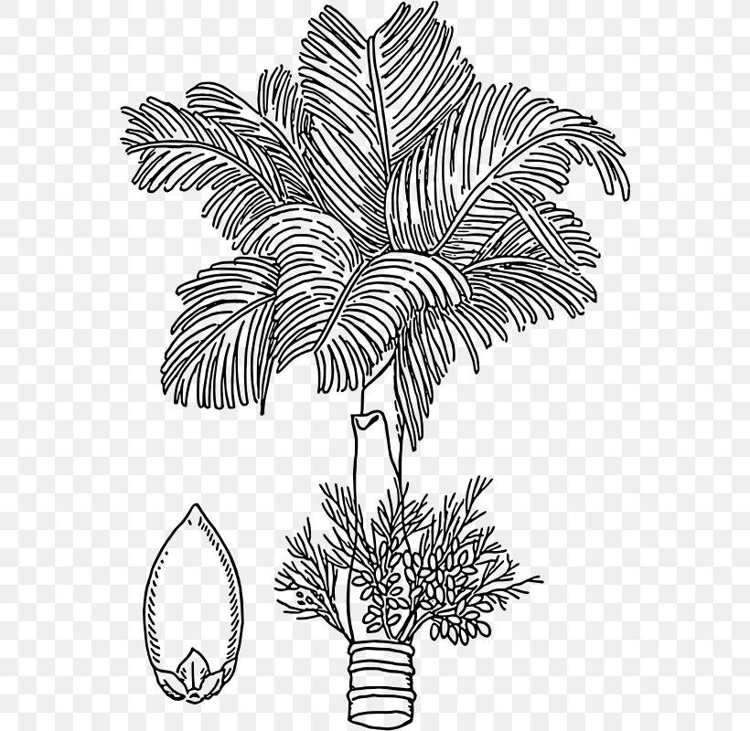 Areca Palm Areca Nut Arecaceae Drawing, PNG, 558x800px.